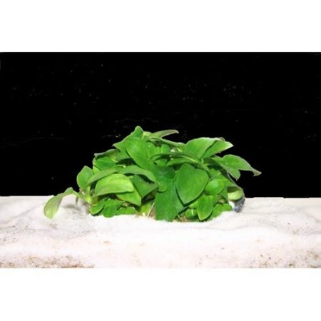 Anubias Nana Petite Leafy Green Aquarium Plant