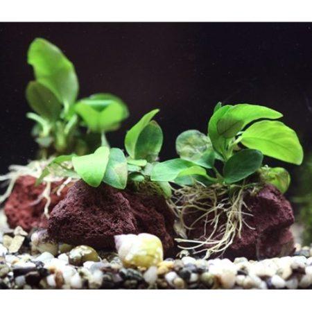 Anubias Nana Plant