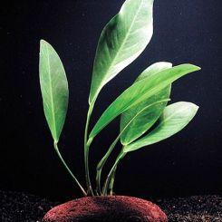 Anubias Aquarium Plants