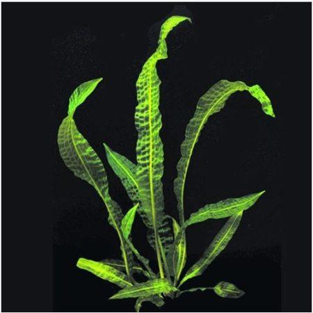 Aponogeton boivinianus Hammer-Leaf Plant