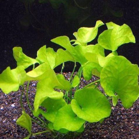 Aquatic Banana Aquarium Plant