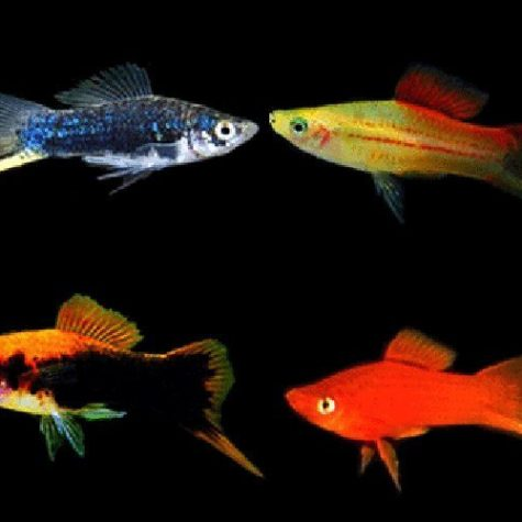 Assorted Swordtail Aquarium Fish