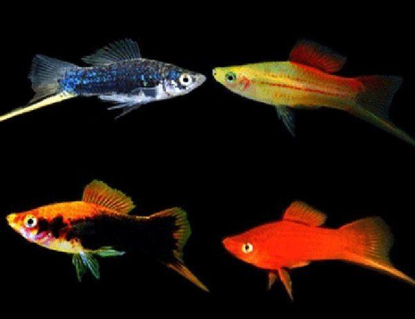 Assorted Swordtail Aquarium Fish