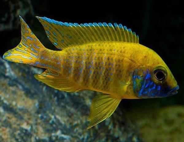 Benga Sunshine Peacock Cichlid