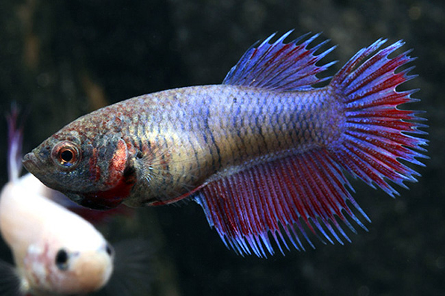 Betta - Female Crowntail Aquarium Fish for sale at AzGardens.com