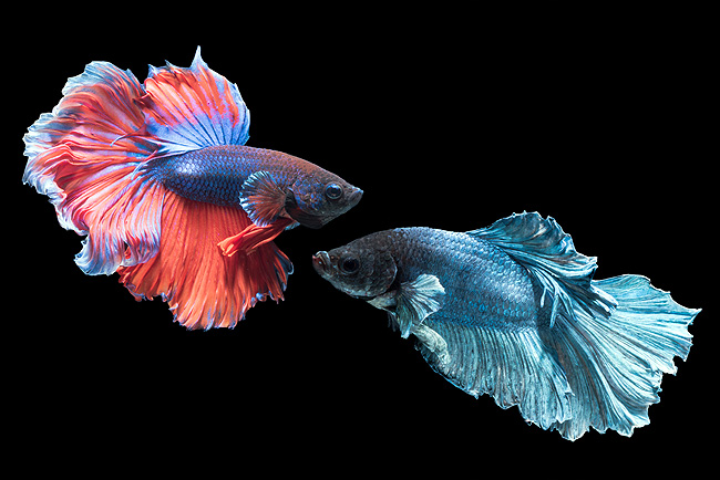 Betta Male Assorted colors for sale Aquarium Fish AzGardens.com