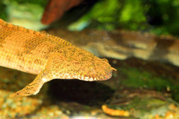 Polypterus Endlicheri Or Saddled Bichir For Sale At Arizona Aquatic Gardens