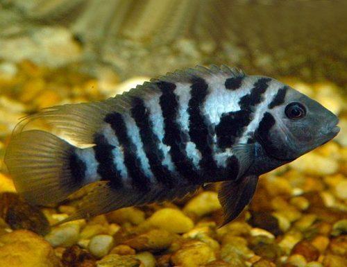 Black Convict Cichlid, Freshwater Aquarium Fish