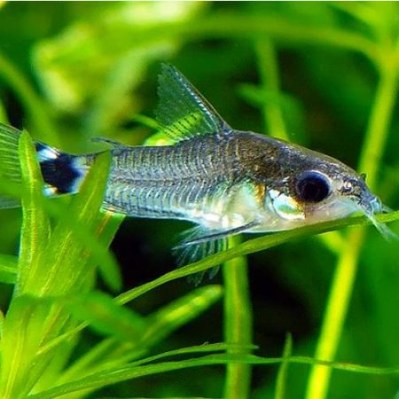 Black Diamond Cory Catfish
