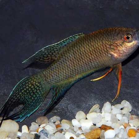 Black Paradise Spiketail Gourami Fish