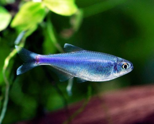 Black Phantom Tetra Fish