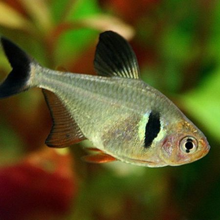 Black Phantom Tropical Tetra