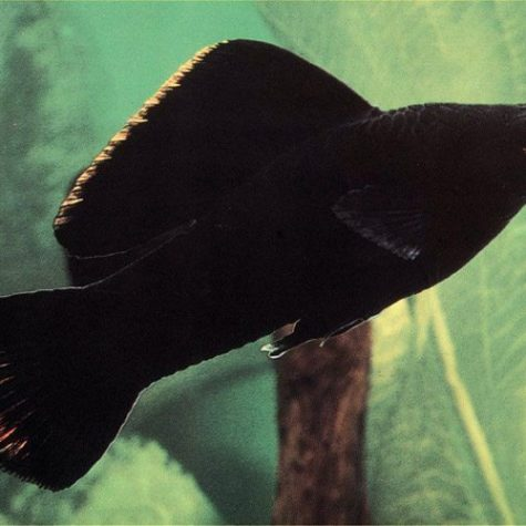 Black Sailfin Molly Fish