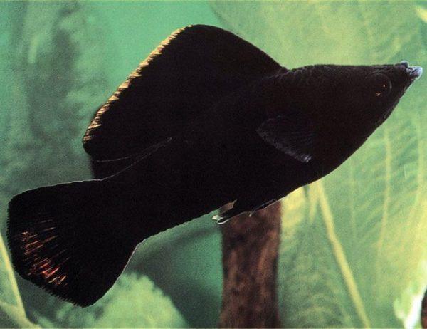 Black Sailfin Molly Fish