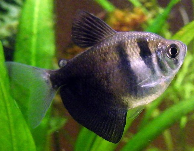 Black Skirt Tropical Tetra