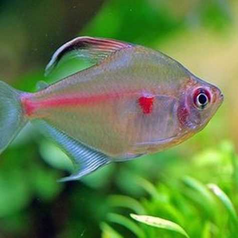 Bleeding Heart Tropical Tetra