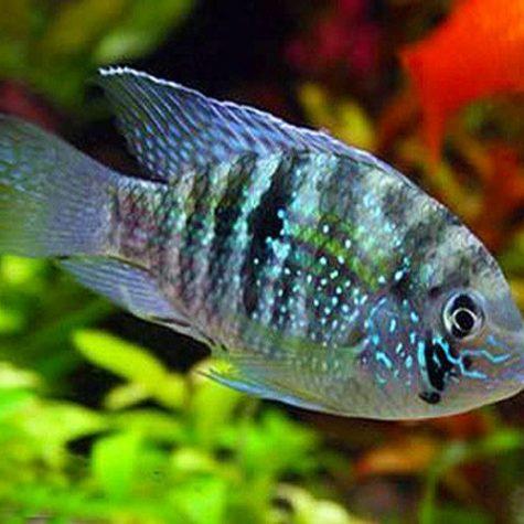 Blue Acara Cichlid Fish