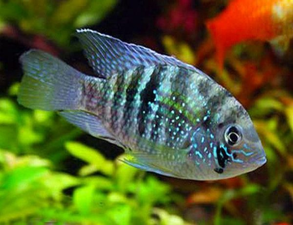 Blue Acara Cichlid Fish