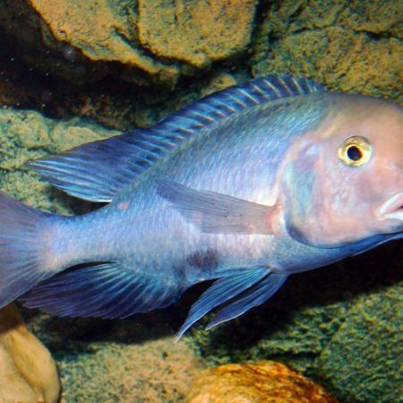 Blue Dolphin Cichlid Large