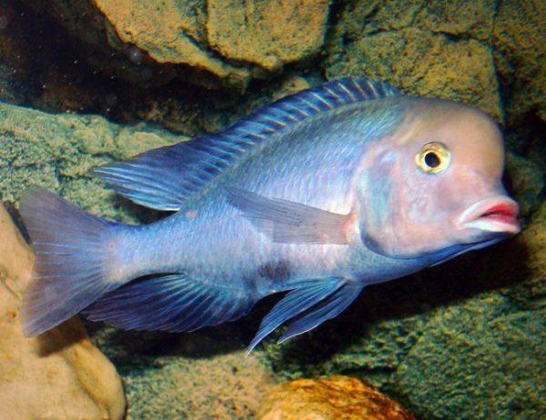 Blue Dolphin Cichlid Large