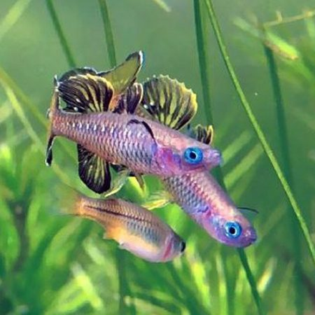 Blue-Eyed Tenellus Tropical Rainbowfish