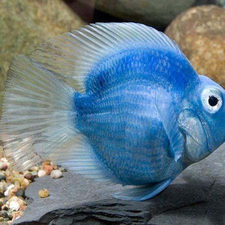 Blue Jellybean Parrot Cichlid