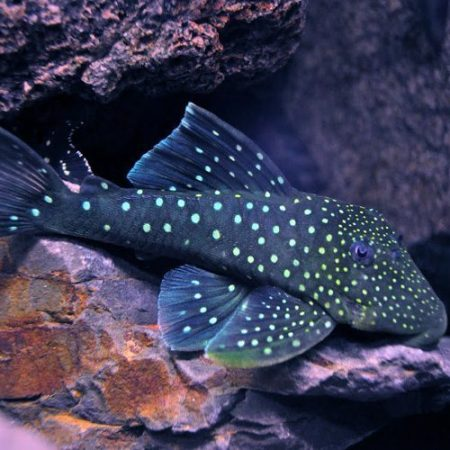 Blue Phantom Pleco L128
