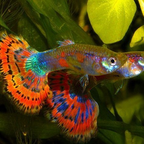 Blue Variegated Delta Guppy Pairs