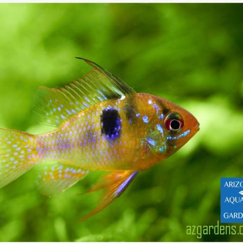 Blue Veil Ram Aquarium Fish