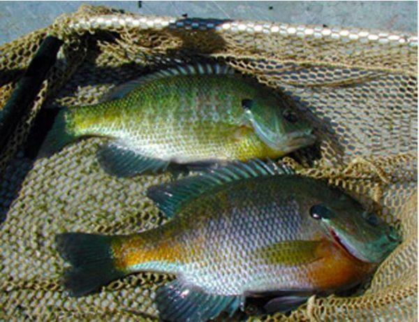 Bluegill Gamefish