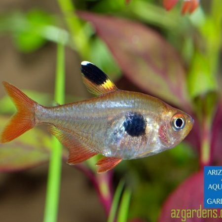 Blushing Pristella Tropical Tetra