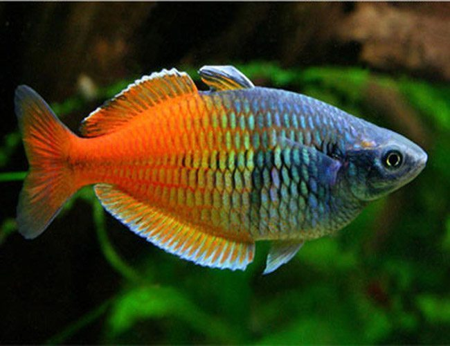 Boesemani Tropical Rainbowfish