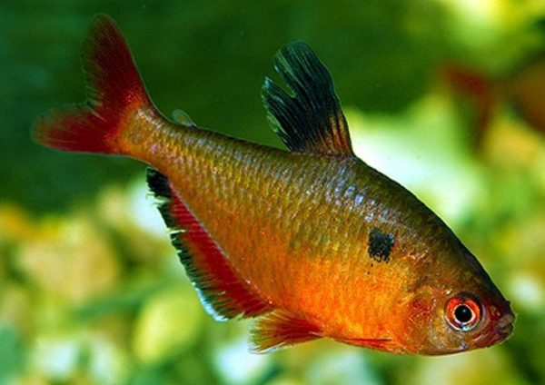 Brilliant Serpae Tropical Tetra