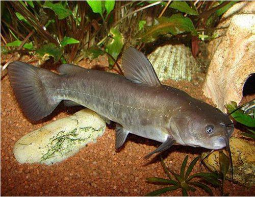 Brown Bullhead Catfish or Mud Cats