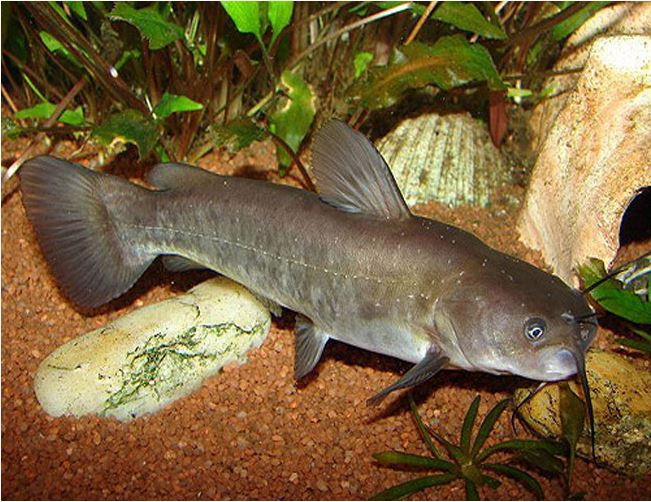 Brown Bullhead Catfish or Mud Cats