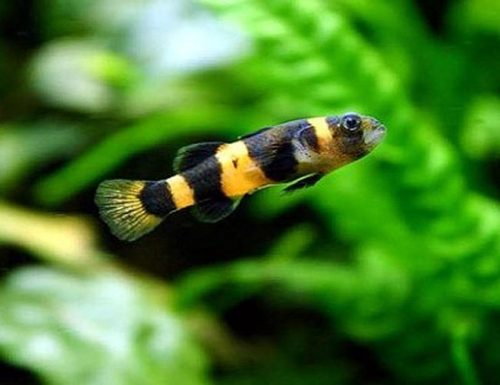 Bumble Bee Goby Freshwater Aquarium Fish