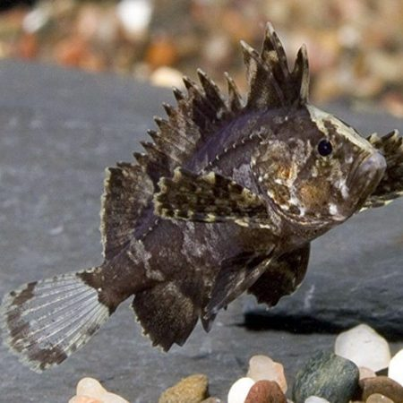 Butterfly Goby or Wasp Fish