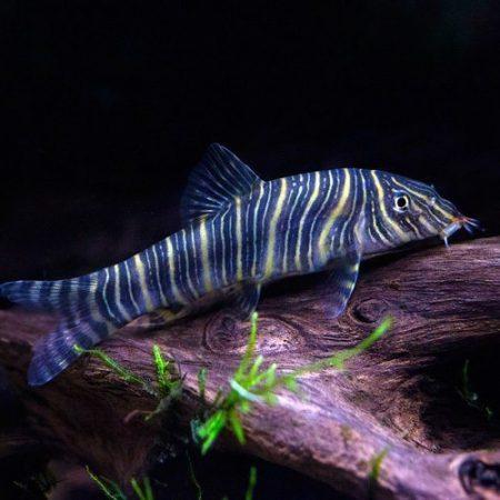 Candy Stripe Zebra Loach