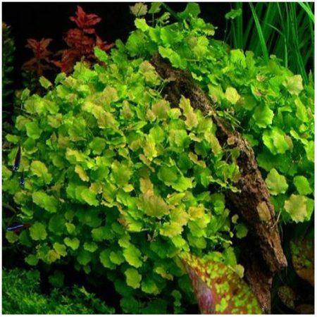 Cardamine Bunched Aquarium Plant