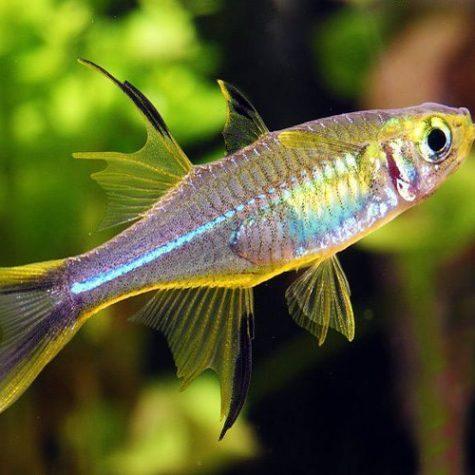 Celebes Tropical Rainbowfish
