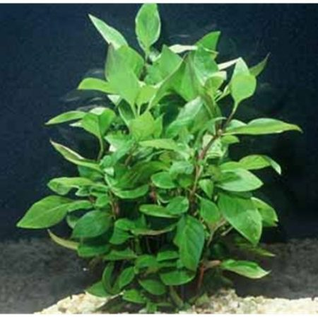 Cherry Hedge Freshwater Aquarium Plant