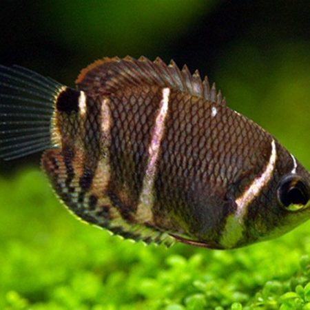 Chocolate Gourami Fish