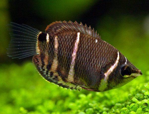 Chocolate Gourami Fish