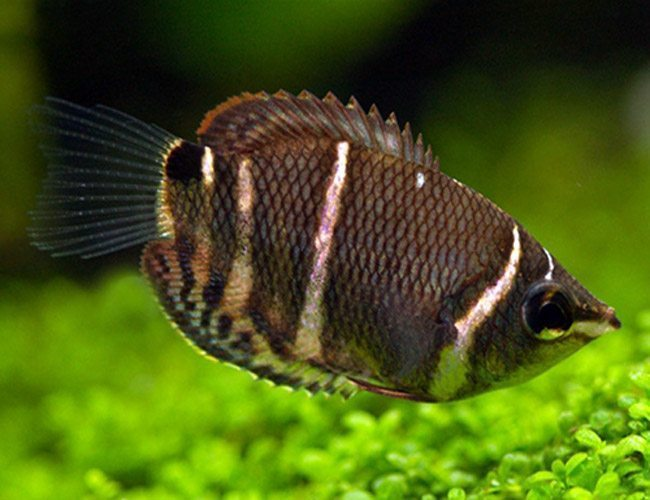Cost for Crossband Chocolate Gourami fish about $22
