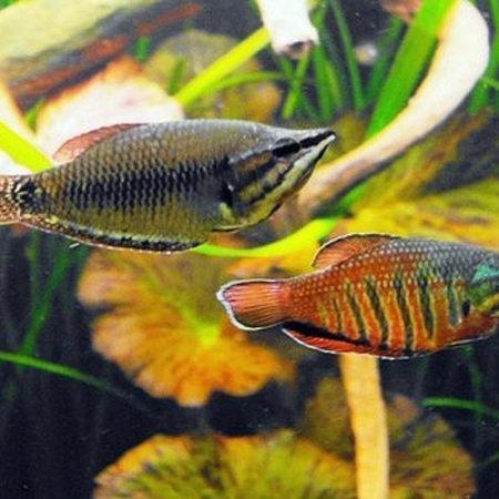 Chocolate Samurai Gourami Fish