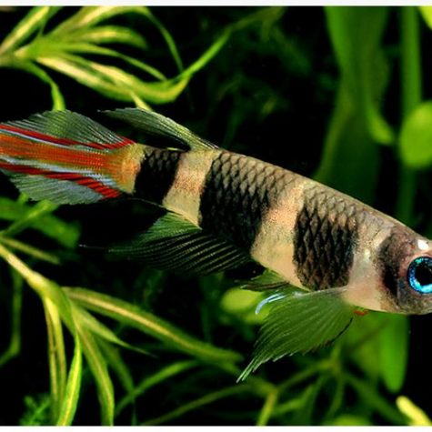 Clown Killifish