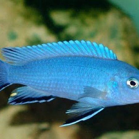 Cobalt Blue Zebra Cichlid
