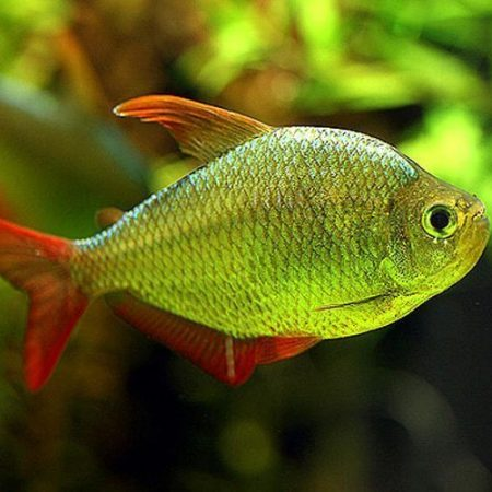 Columbian Blue Flame Tropical Tetra