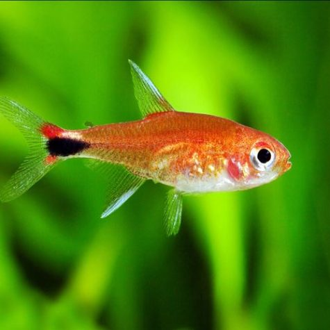 Columbian Ruby Red Tropical Tetra