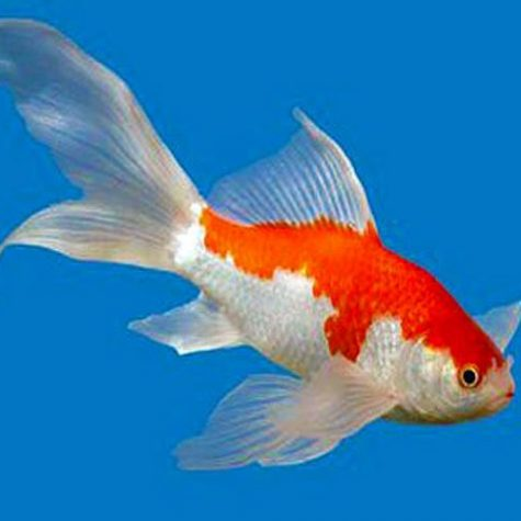 "Care Level: Easy Temperament: Peaceful Temp: 32-95° F KH 2-12 pH 6.8-8.2 Max. Size: 1' 2"" Color Form: Orange, Red, White Diet: Omnivore Origin: China Family: Cyprinidae Sarasa Fantail Goldfish are an ideal long term Goldfish! They display a very bright red and white pattern (usually referred to as Blue) on a shorter, rounded body with a wide, flowing fantail. Other colors may include, Black & Red, Solid Black, Solid White, & Calico. The reds of Sarasa Fantail Goldfish are generally deeper and more vibrant than the reds of most other goldfish which give them a stunning appearance! Sarasa Fantails can be kept in combination with Koi, Butterfly Koi and other types of Goldfish, however, take care when mixing large Koi and Butterfly Koi with smaller Sarasa Fantail Goldfish."